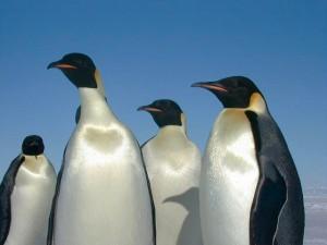 emperorpenguins
